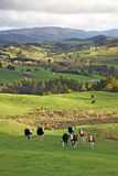 De Koeien van Nieuw Zeeland Royalty-vrije Stock Foto's