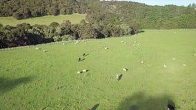 De Koeien van Nieuw Zeeland, Lucht4k bij Zonsondergang stock videobeelden