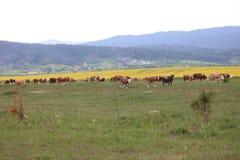 De koeien wandelen in bergweiden stock afbeelding