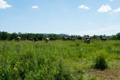 De koeien weiden in de de zomerdag Royalty-vrije Stock Fotografie