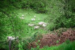 De koeien weiden in een weide in het platteland Royalty-vrije Stock Afbeelding
