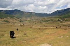 De koeien weiden in het platteland dichtbij Gangtey (Bhutan) Stock Afbeeldingen