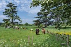 De koeien weiden in het toneel Engelse platteland Stock Foto