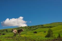 De koeien weiden op de heuvel royalty-vrije stock fotografie