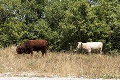 De koeien weiden op de weg Stock Fotografie