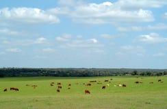 De koeien weiden op een groen grasgebied royalty-vrije stock afbeelding