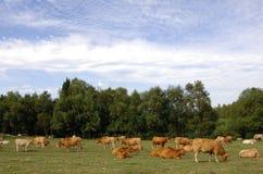 De koeien weiden op een groen grasgebied royalty-vrije stock foto's