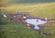 De koeien weiden op een mooi berglandschap bij zonsondergang Stock Afbeeldingen