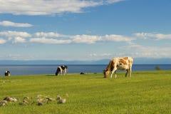De koeien weiden op het gebied Stock Fotografie