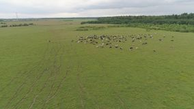 De koeien weiden op weiland stock footage