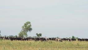 De koeien weidt in een weide op een schilderachtig gebied met een gebied met zeldzame bomen stock footage