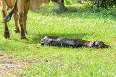 De koeien zijn geboorte en de zon stock afbeelding
