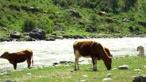 De koeien zijn geweid op een weide bij de bergrivier Groen gras Een weiland voor het vee Het landschap van de berg stock video