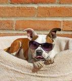 De koele hond draagt zijn schaduwen en plakt uit zijn tong Stock Fotografie