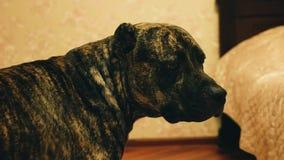 De koele hond kijkt vanaf de camera en bekijkt de camera stock videobeelden