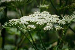De koepastinaak of de gifstof hogweed in de zomer zonnige dag Heracleum Koe-brasem royalty-vrije stock foto's