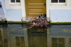 De koetfamilie bouwt hun nest van afvalmateriaal voor de deur van een kanaalhuis in Delft, Nederland stock foto
