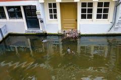 De koetfamilie bouwt hun nest van afvalmateriaal voor de deur van een kanaalhuis in Delft, Nederland stock afbeelding