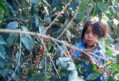 DE KOFFIE VAN LATIJNS AMERIKA GUATEMALA Royalty-vrije Stock Foto