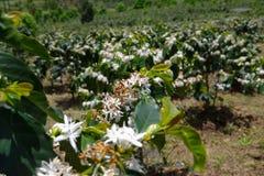 De koffielandbouwbedrijven, koffiebomen zijn het tot bloei komen part3 stock foto's