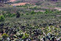 De koffielandbouwbedrijven, koffiebomen zijn het tot bloei komen part4 stock afbeeldingen