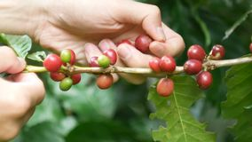 De koffielandbouwer oogst het selecteren van het plukken vers rood manueel rijpt arabica koffiekersen van koffiebomen stock video