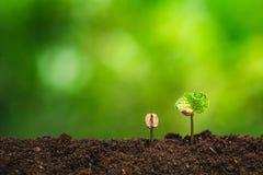 De koffiezaailing in aard plant een boomconcept, Jonge hand stock foto
