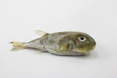 De kogelvisvissen die op witte achtergrond worden geïsoleerd Stock Afbeeldingen