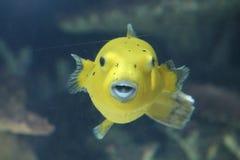 De kogelvisvissen van het hondgezicht stock afbeeldingen