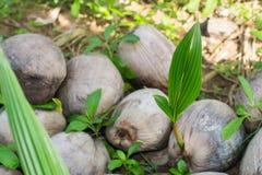 De kokosnoot groeit, Jong boompjekokosnoot en aardachtergrond royalty-vrije stock fotografie