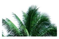 De kokosnoot verlaat heldergroene, geïsoleerde witte achtergrond Royalty-vrije Stock Afbeelding
