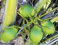 De kokosnoten in palm detailleren tropisch symbool Stock Foto