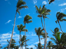 De kokosnotenpalm Stock Fotografie
