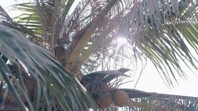 De kokosnotenvruchten hangen op palm bij mening van de zon de lichte lage hoek stock video