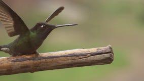 De kolibrie begint over tak in super langzame motie te vliegen stock video