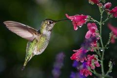 De kolibrie bezoekt bloemen met regendruppels Royalty-vrije Stock Afbeeldingen