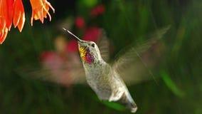 De kolibrie bezoekt coralle fuchsia op regenachtige dag