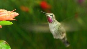 De kolibrie bezoekt coralle fuchsia terwijl kikker die dichtbij roepen stock footage