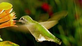 De kolibrie bezoekt coralle fuchsia in zware regen met zonlicht stock video