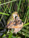 De kolibrie die van de moeder haar jongelui voedt royalty-vrije stock afbeeldingen