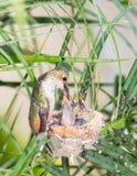 De kolibrie die van de moeder haar jongelui voedt stock foto
