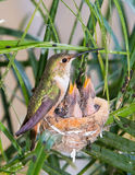 De kolibrie die van de moeder haar jongelui voedt stock afbeeldingen