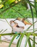 De kolibrie die van de moeder haar jongelui voedt royalty-vrije stock fotografie