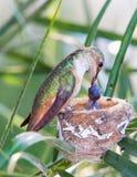 De kolibrie die van de moeder haar jongelui voedt royalty-vrije stock foto