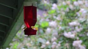 De kolibrie hangt dichtbij voeder stock videobeelden