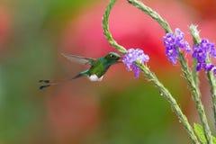 De Kolibrie hangt en drinkt de nectar van de mooie bloem royalty-vrije stock foto's