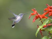 De kolibrie klapt zijn vleugels. Stock Foto