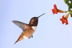 De Kolibrie van Allen Royalty-vrije Stock Fotografie