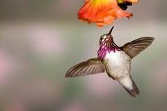 De Kolibrie van Calliope stock fotografie