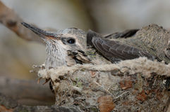 De Kolibrie van de baby in Nest royalty-vrije stock afbeeldingen